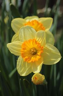 水仙の花の素材 [FYI00435395]