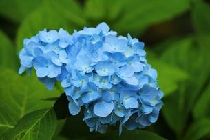 紫陽花の花の素材 [FYI00435400]