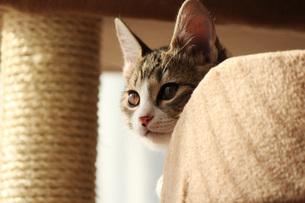 キャットタワーからのぞき見中の猫の素材 [FYI00435405]