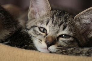 眠い猫の素材 [FYI00435410]