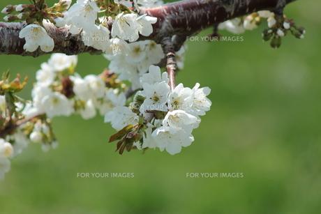 りんごの花の素材 [FYI00435413]