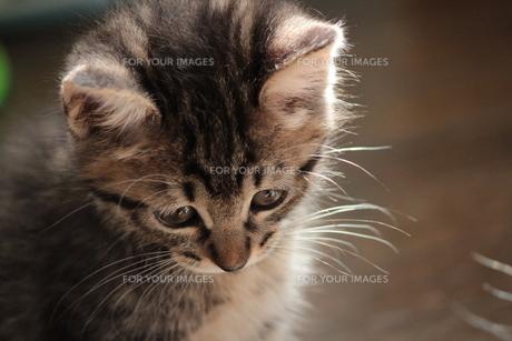 しょんぼりする猫の素材 [FYI00435427]