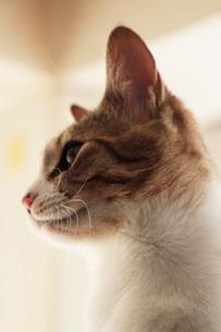 猫の横顔の写真素材 [FYI00435432]