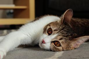 寝そべる猫の写真素材 [FYI00435438]