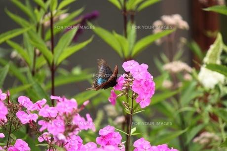 晩夏の蝶蝶の素材 [FYI00435439]