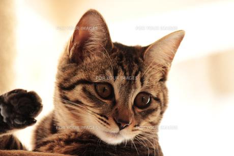 後ろ足を上げて見つめる猫の素材 [FYI00435446]