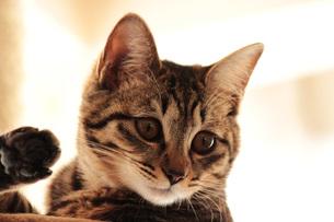 後ろ足を上げて見つめる猫の写真素材 [FYI00435446]