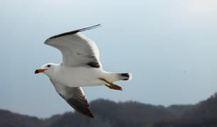 飛ぶ鳥の素材 [FYI00435447]