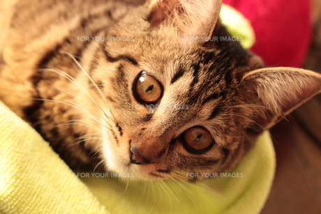 リラックス中の猫の素材 [FYI00435448]