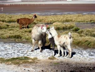 ボリビアで見かけたアルパカの家族の写真素材 [FYI00435476]