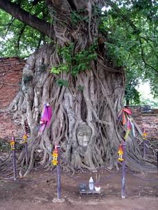 タイのアユタヤにある菩提樹に取り込まれた仏頭の写真素材 [FYI00435482]