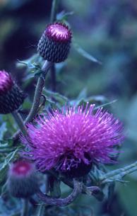 野草 咲く ピンクの花の写真素材 [FYI00435620]