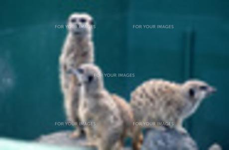 ミーアキャット 見張り 動物園の写真素材 [FYI00435655]