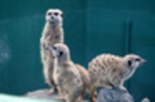 ミーアキャット 見張り 動物園の素材 [FYI00435655]