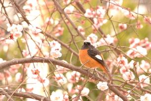 梅と小鳥の素材 [FYI00435694]