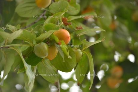 柿の写真素材 [FYI00435730]