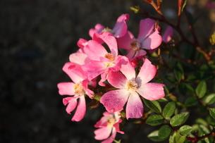 ピンクのミニバラの写真素材 [FYI00435767]