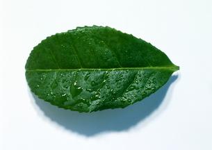 水滴の葉の写真素材 [FYI00435953]
