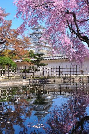 桜と白鷺城の写真素材 [FYI00435979]