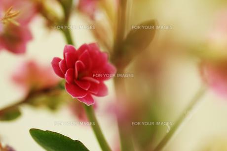 かわいいピンクの花の素材 [FYI00436045]