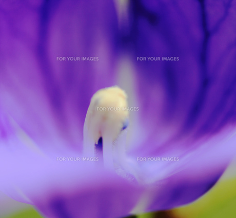 薄紫の花と花芯の素材 [FYI00436053]