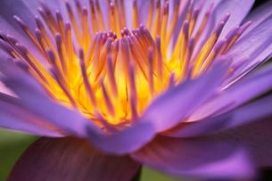 植物園に咲く紫の睡蓮の素材 [FYI00436057]