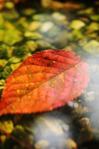 水面に浮かぶ紅葉の素材 [FYI00436058]