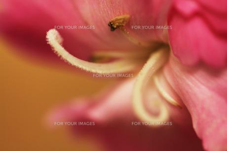 ピンクの花の白い花芯の素材 [FYI00436060]