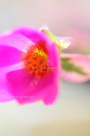風にゆれるピンクの小花の素材 [FYI00436065]