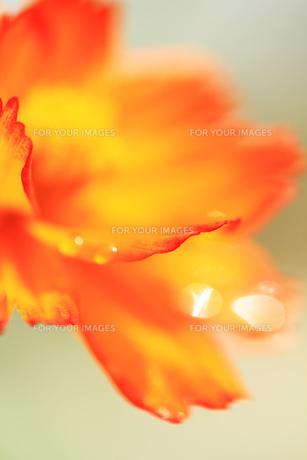 オレンジコスモスと水滴の素材 [FYI00436066]
