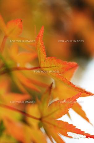 奈良の紅葉の素材 [FYI00436072]