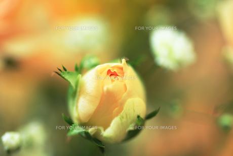 オレンジピンクの薔薇の花のつぼみの素材 [FYI00436080]