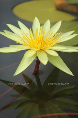 池に浮かぶ黄色い睡蓮の素材 [FYI00436084]