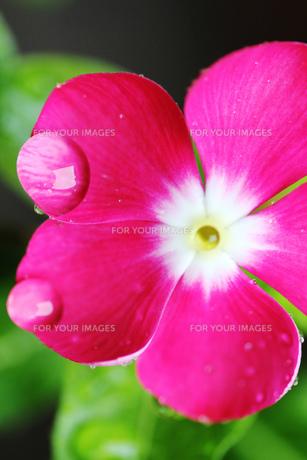 水滴のピンクの花の素材 [FYI00436087]
