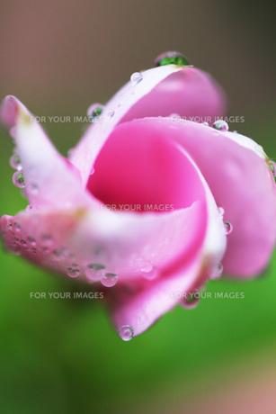 水滴のついたピンクの花の素材 [FYI00436100]