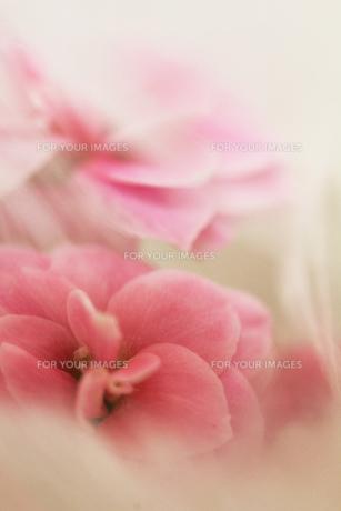 白い花とピンクの小花の素材 [FYI00436120]