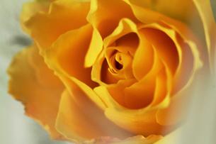 黄色い薔薇の花と羽の素材 [FYI00436122]