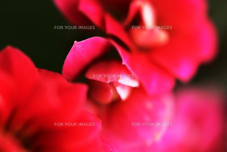 鮮やかな赤い花の素材 [FYI00436129]