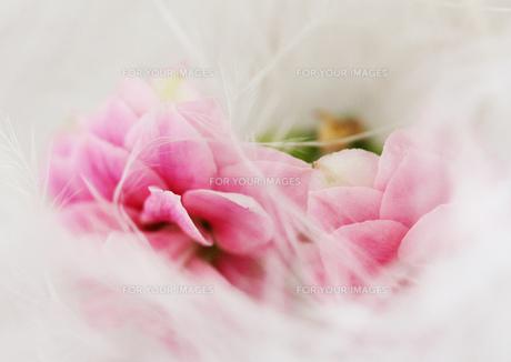 羽につつまれたピンクの花の素材 [FYI00436137]