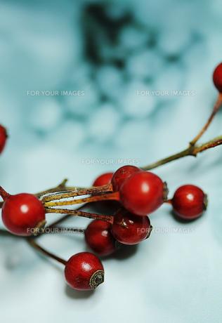 白地に赤い薔薇の蕾の素材 [FYI00436141]