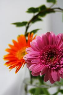 白い背景のピンクとオレンジのガーベラとアイビーの素材 [FYI00436150]