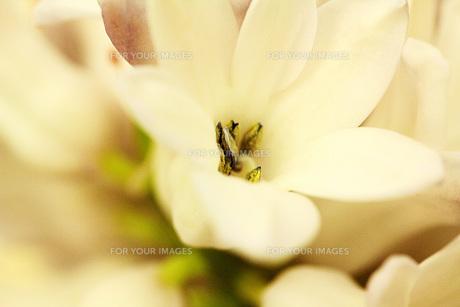 白い花の素材 [FYI00436154]
