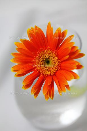 白い背景のガラスの器とオレンジのガーベラの素材 [FYI00436156]