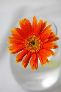 白い背景のガラスの器とオレンジのガーベラの写真素材 [FYI00436156]