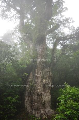 縄文杉の写真素材 [FYI00436333]