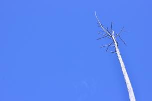 青空と立ち枯れの写真素材 [FYI00436339]