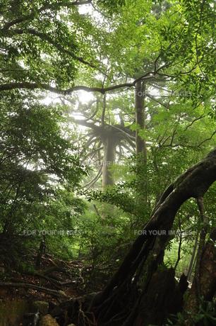 メドゥーサ杉の写真素材 [FYI00436369]