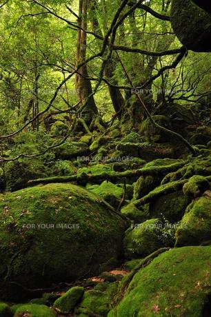 白谷雲水峡:もののけの森の写真素材 [FYI00436372]