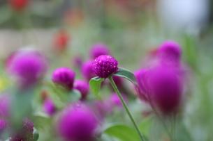 濃いピンクの千日紅の写真素材 [FYI00436698]