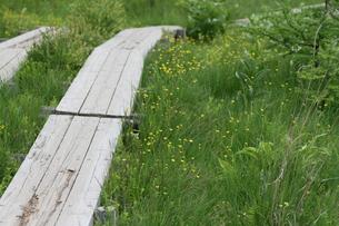戦場ヶ原の遊歩道と黄色の花の写真素材 [FYI00436711]